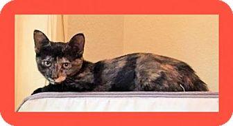 Domestic Mediumhair Kitten for adoption in Euless, Texas - Topaz - Courtesy Post