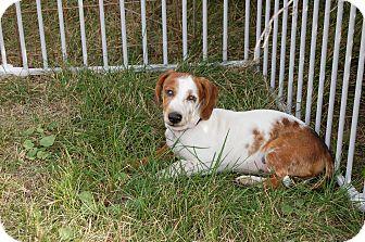 Dachshund Puppy for adoption in Sawyer, North Dakota - Ray Charles