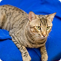 Adopt A Pet :: Ringo - Fountain Hills, AZ
