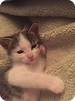 Domestic Shorthair Kitten for adoption in Tampa, Florida - Possum