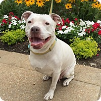 Pit Bull Terrier Mix Dog for adoption in St Louis, Missouri - Snow White