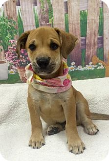 Labrador Retriever/Shepherd (Unknown Type) Mix Puppy for adoption in Fort Pierce, Florida - ROSCOE