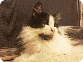 Domestic Longhair Cat for adoption in St. Louis, Missouri - Pixel