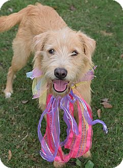 Schnauzer (Giant)/Irish Terrier Mix Dog for adoption in Denver, Colorado - Nala