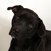 Adopt A Pet :: Carter Lab - St. Louis, MO