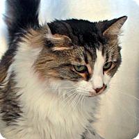 Domestic Longhair Cat for adoption in North Las Vegas, Nevada - Leia