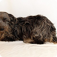 Adopt A Pet :: Dancer Dan Aussie Poodle - St. Louis, MO