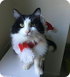 RagaMuffin Cat for adoption in Studio City, California - Momo marshmallow