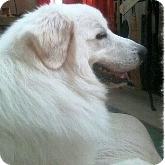 Great Pyrenees Dog for adoption in Ball Ground, Georgia - Boomer