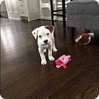 Adopt A Pet :: Leah - Hainesville, IL