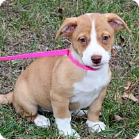 Adopt A Pet :: PUPPY ROSIE BEE - richmond, VA