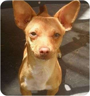 Basenji/Chihuahua Mix Puppy for adoption in Long Beach, California - Brewster