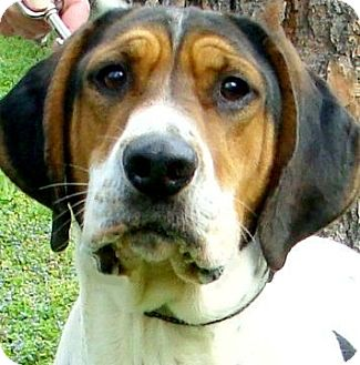 Treeing Walker Coonhound Dog for adoption in Wakefield, Rhode Island - WRIGLEY(TRAINED-SO SMART A JOY