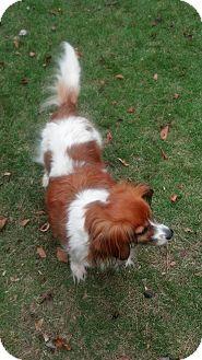 menda adopted dog columbia sc cavalier king charles