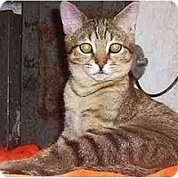 Domestic Shorthair Cat for adoption in Nepean, Ontario - SAMIRA