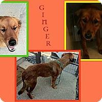 Adopt A Pet :: GINGER - Dallas, NC
