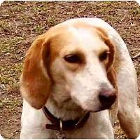 Adopt A Pet :: Farrah - Cape Girardeau, MO