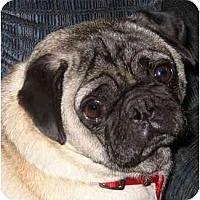 Adopt A Pet :: Yoda-NJ - Mays Landing, NJ