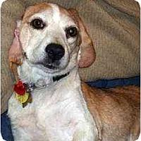 Adopt A Pet :: Joy - Novi, MI