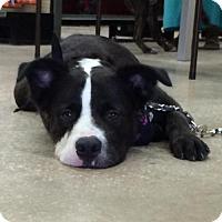 Adopt A Pet :: Maggie - Palm Harbor, FL