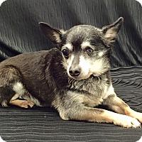 Chihuahua Mix Dog for adoption in Encino, California - Tobi