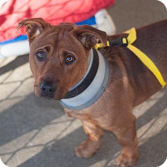 Rhodesian Ridgeback/Dachshund Mix Dog for adoption in New Martinsville, West Virginia - Drex