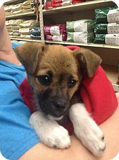 Chihuahua/Terrier (Unknown Type, Medium) Mix Puppy for adoption in Blountstown, Florida - Huck