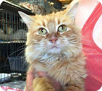 Domestic Longhair Kitten for adoption in Lombard, Illinois - Tiana