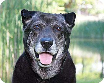 Labrador Retriever Dog for adoption in Sudbury, Massachusetts - Teddy