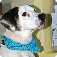Beagle Mix Dog for adoption in Providence, Rhode Island - Archie-URGENT