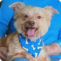 Adopt A Pet :: Bear - Garfield Heights, OH
