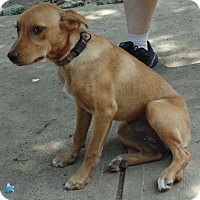Adopt A Pet :: Foxy - Washington court House, OH