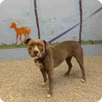 Pit Bull Terrier Dog for adoption in San Bernardino, California - URGENT ON 8/12  San Bernardino