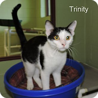 Domestic Shorthair Cat for adoption in Slidell, Louisiana - Trinity