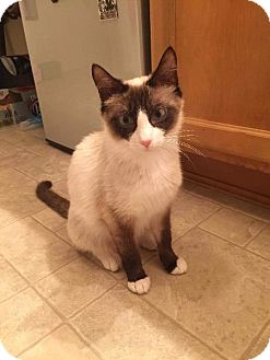 Snowshoe Cat for adoption in Madison, Alabama - Hermione