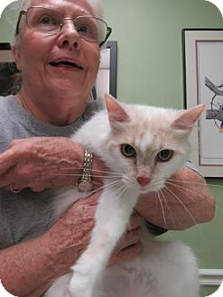 Domestic Mediumhair Cat for adoption in St. Louis, Missouri - Bonnie