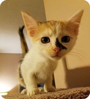 Domestic Longhair Kitten for adoption in Huntsville, Alabama - Lisa