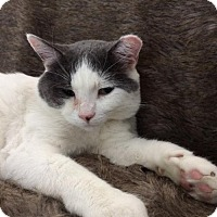 Domestic Shorthair Cat for adoption in Toronto, Ontario - Leon