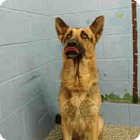 German Shepherd Dog Mix Dog for adoption in San Bernardino, California - URGENT on 11/4 SAN BERNARDINO