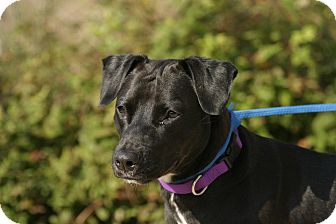 Labrador Retriever Mix Dog for adoption in Peace Dale, Rhode Island - Sparky