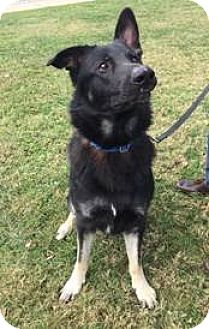German Shepherd Dog Dog for adoption in Sterling, Virginia - Triton 5442