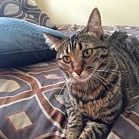Adopt A Pet :: Teddy - Arlington/Ft Worth, TX