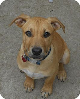 Rhodesian Ridgeback/German Shepherd Dog Mix Puppy for adoption in Torrance, California - KIANA