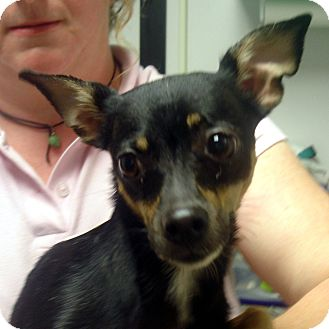 Chihuahua Mix Dog for adoption in baltimore, Maryland - Ariel