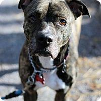 Adopt A Pet :: Lexus - Tinton Falls, NJ