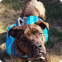 Adopt A Pet :: Gracie (Reduced Adoption Fee) - Washington, DC