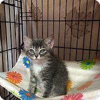 Adopt A Pet :: Sugarbaby #3 - Lunenburg, MA
