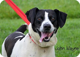 "Labrador Retriever/Beagle Mix Dog for adoption in DuQuoin, Illinois - Wayne ""John Wayne"""