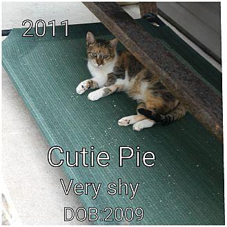 Domestic Shorthair Cat for adoption in Smithtown, New York - Cutie Pie