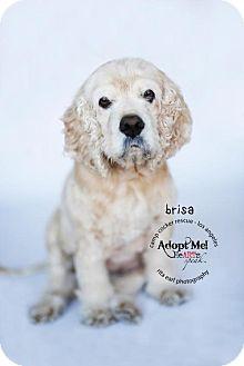 Cocker Spaniel Dog for adoption in Sherman Oaks, California - Brisa